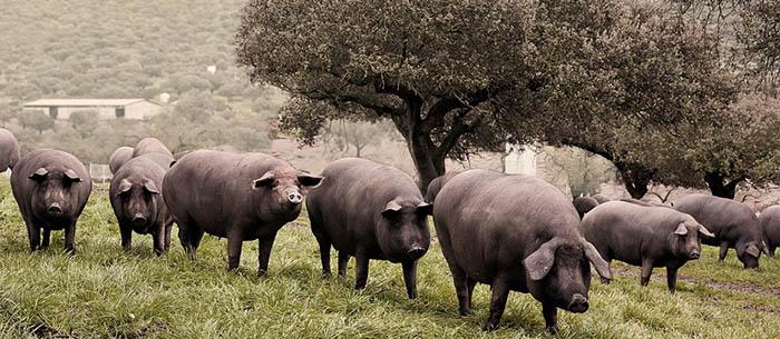 jamón ibérico es saludable gracias a los cerdos de la dehesa